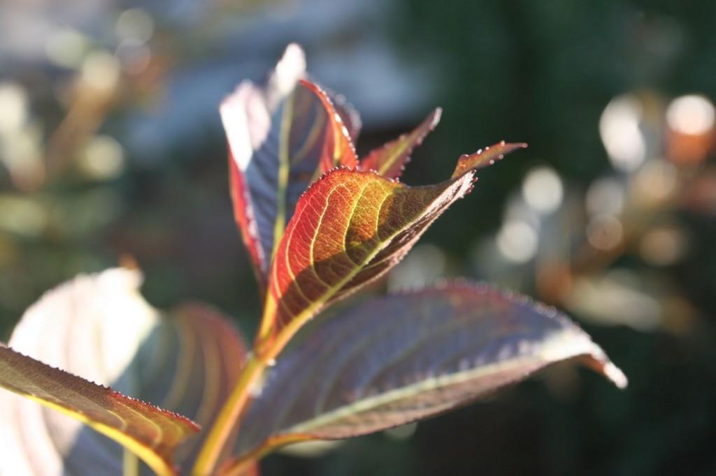 The beauty shot of the day is NOT hydrangeas - it's weigela!