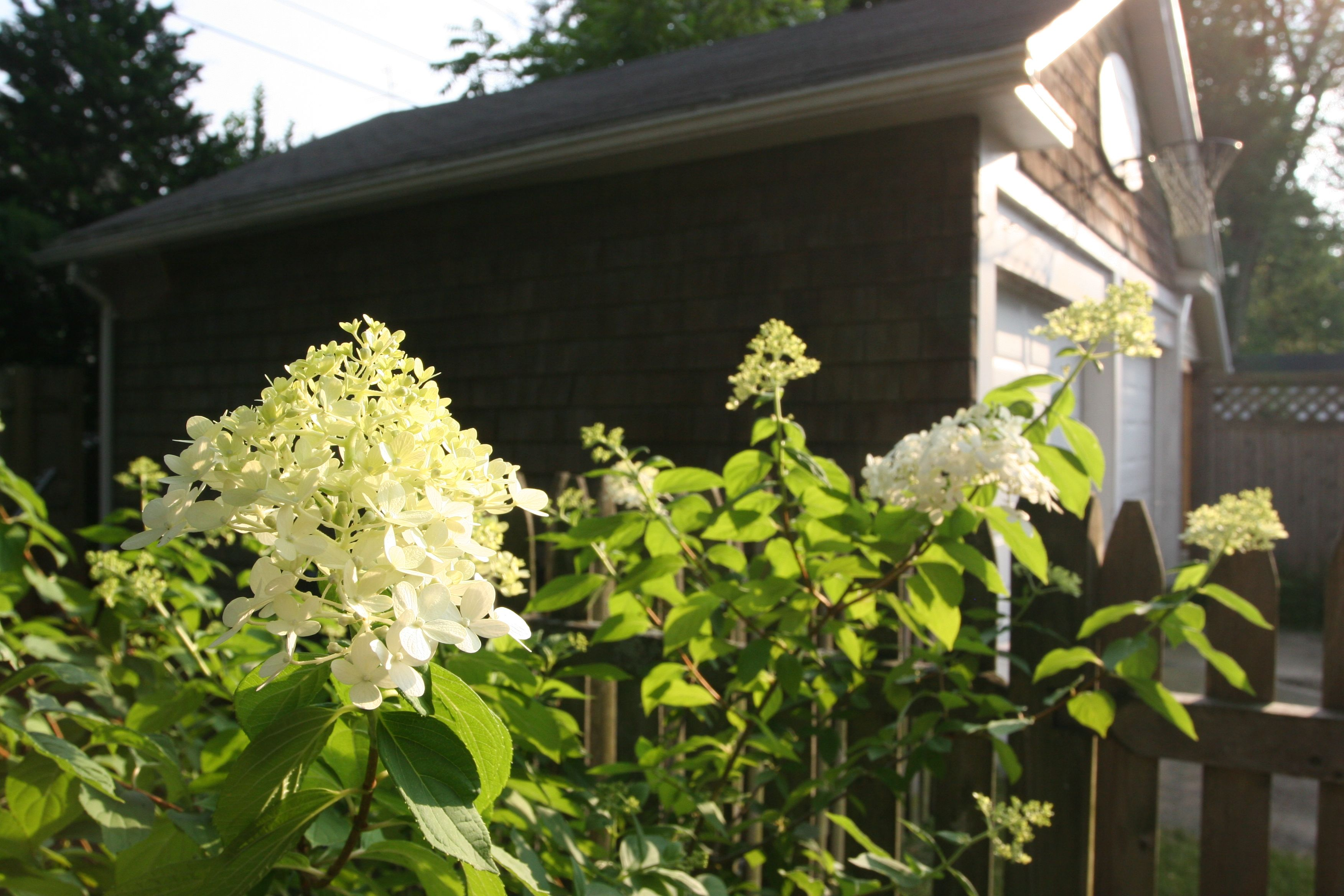 Everyone has time for hydrangeas.