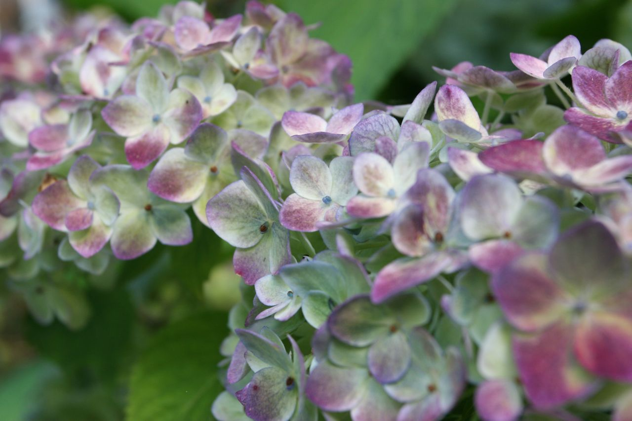 The hydrangeas are modeling. In that their colors are turning modeled. You know what I mean.