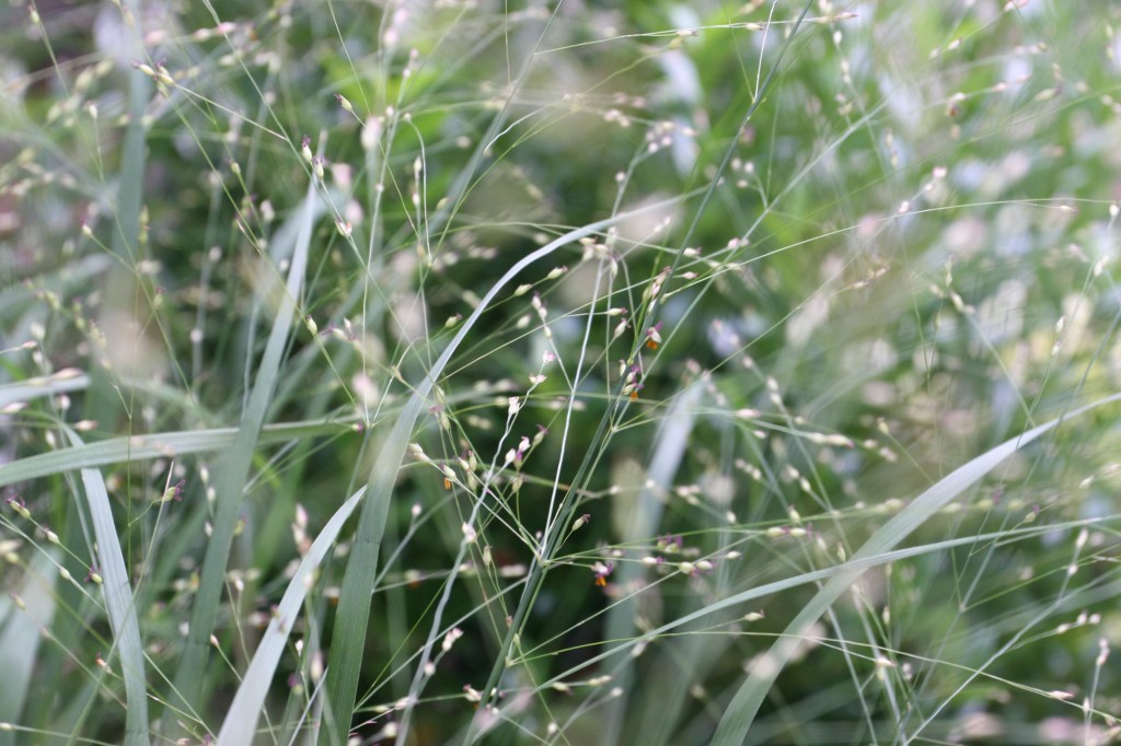 Beauty shot: the grasses in full-bloom. They tickle my eyes.