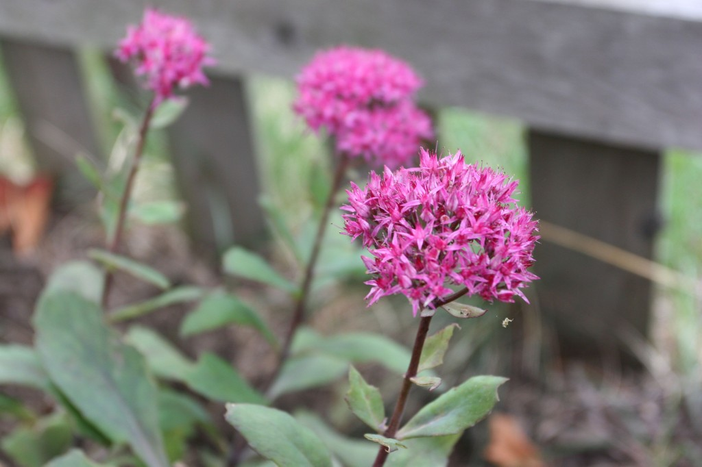 The sedum in full, fall-time bloom. I felt Autumn fall this year. And this year, it hurt.