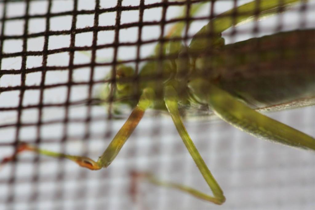 A grasshopper that hopefully didn't sing all summer. It's slim pickin's now.