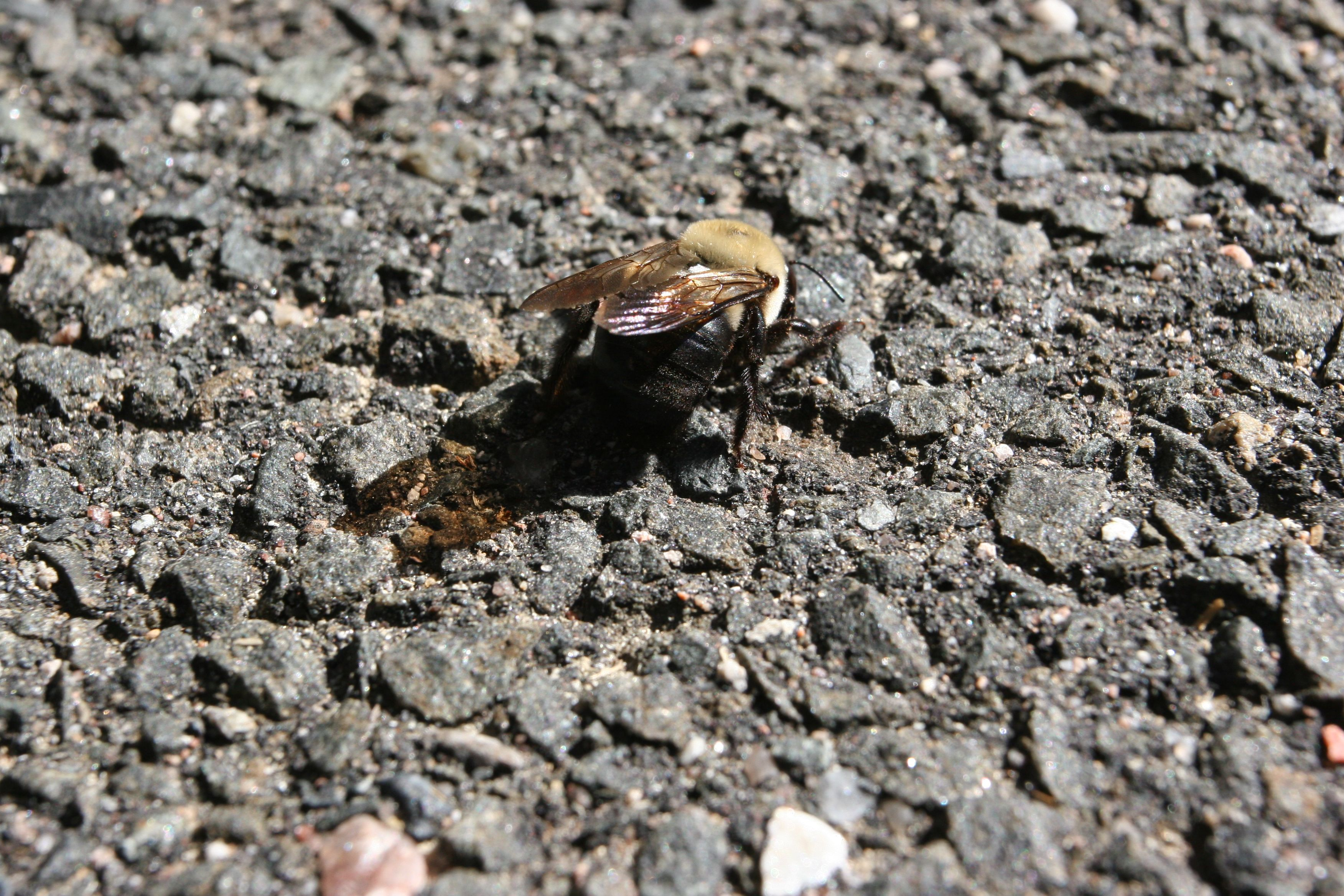 Beauty shot: dying bee. I'm loving the way the sun shines through his wings onto the driveway. Lovely little thing.