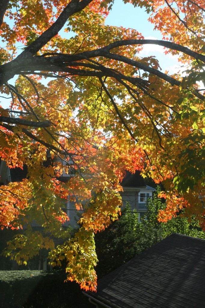 Beauty shot: maple tree out the window. Late afternoon sun. Just dreamy.