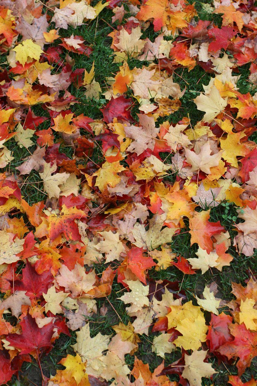 Beauty shot: quintessential autumn leaves on still green grass.