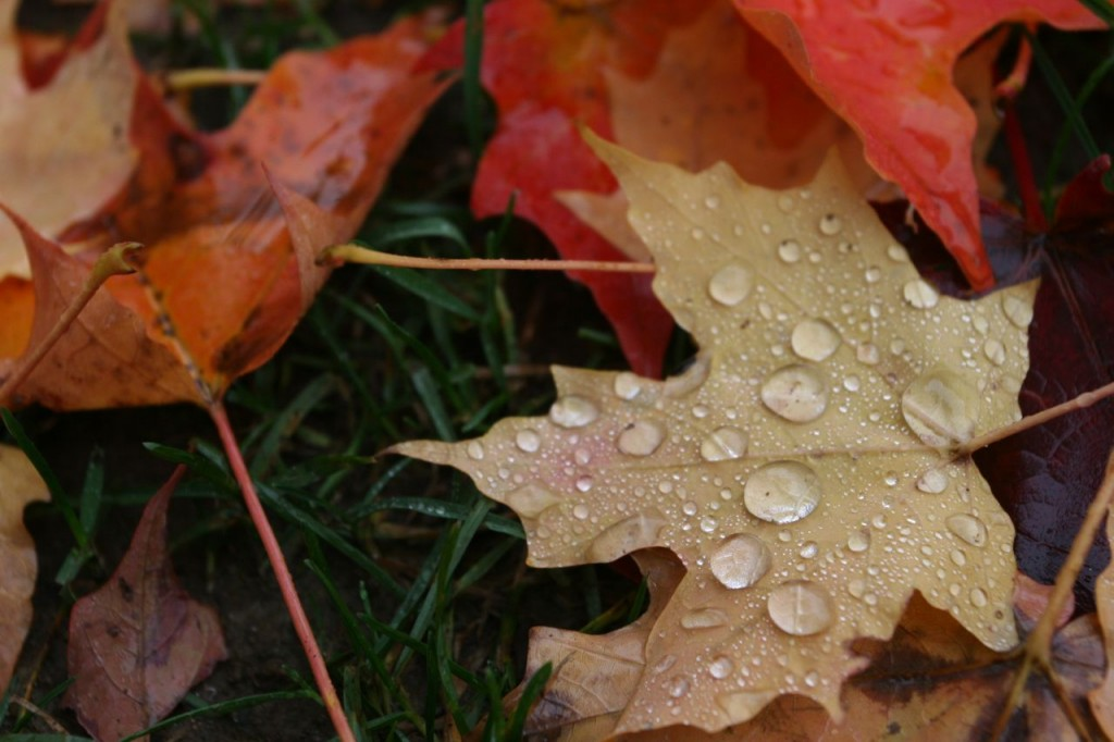Beauty shot: rain drops on leaf. If I were in Toronto I could say raindrops on leafs.