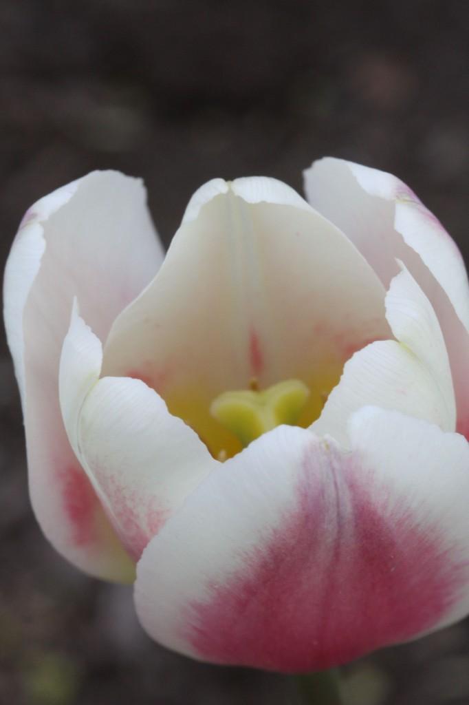 Tulip love.