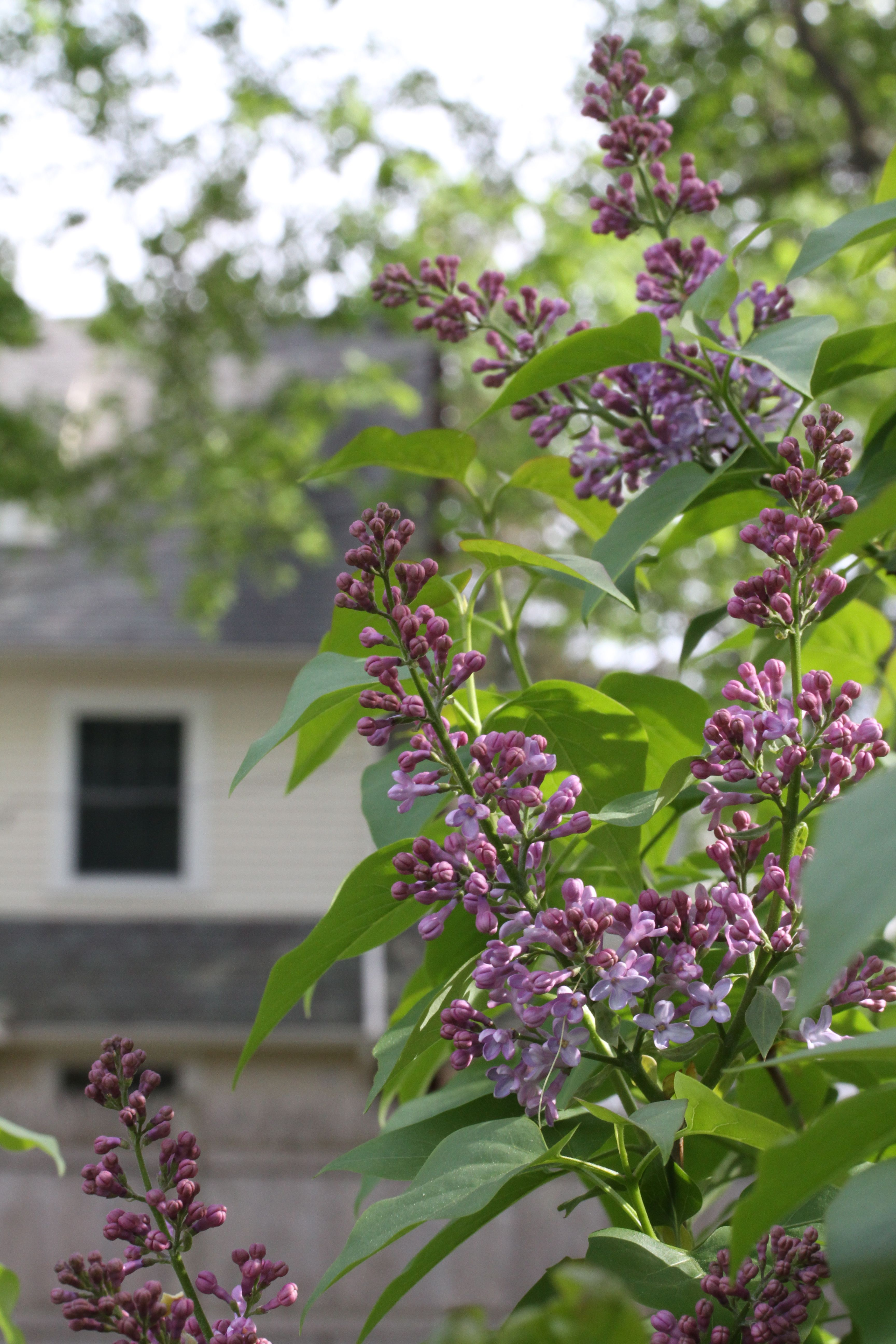 Last year we didn't have lilacs. This year, they scent the air deliciously.