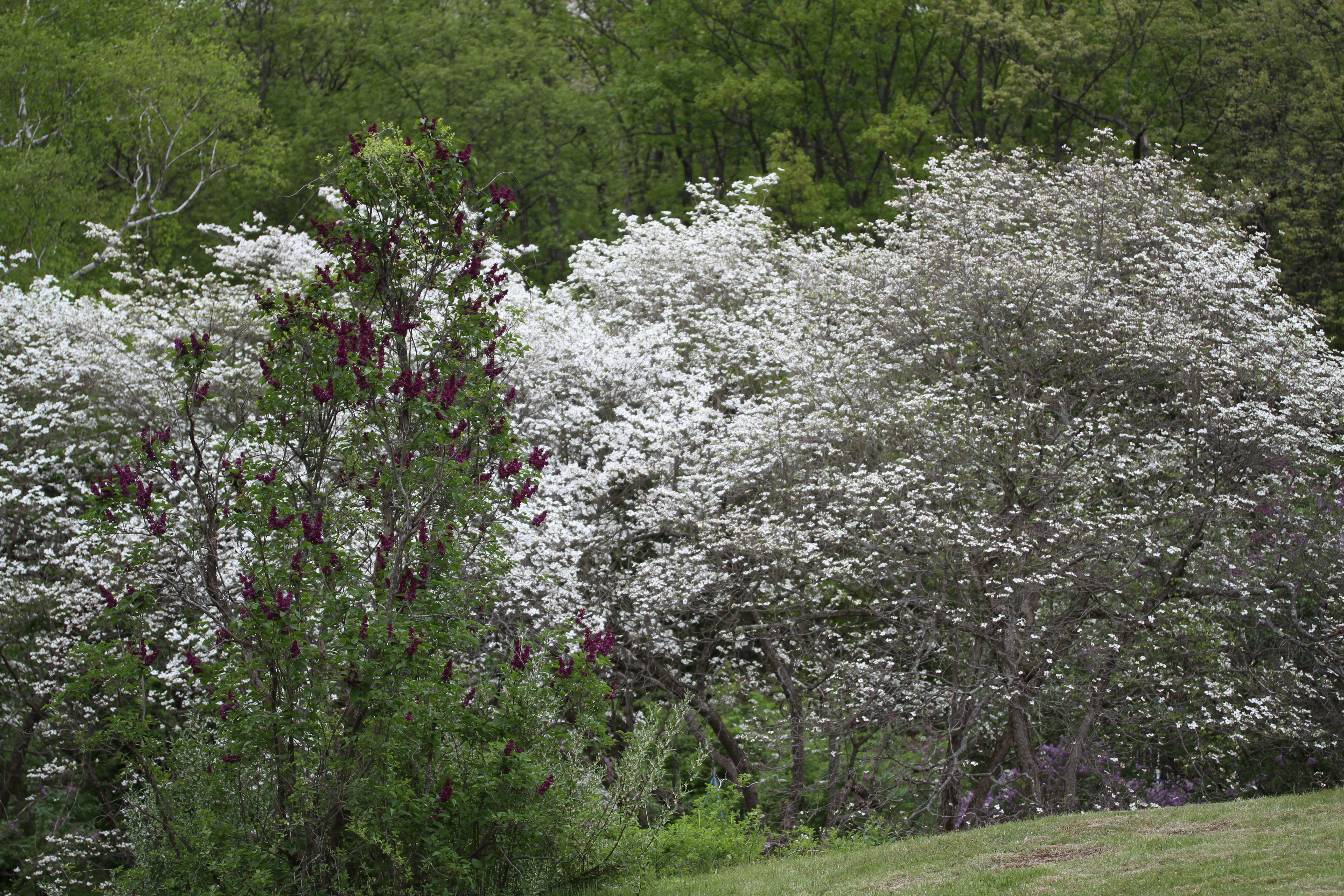 Dogwoods and lilacs and fruit trees all blooming in harmony.