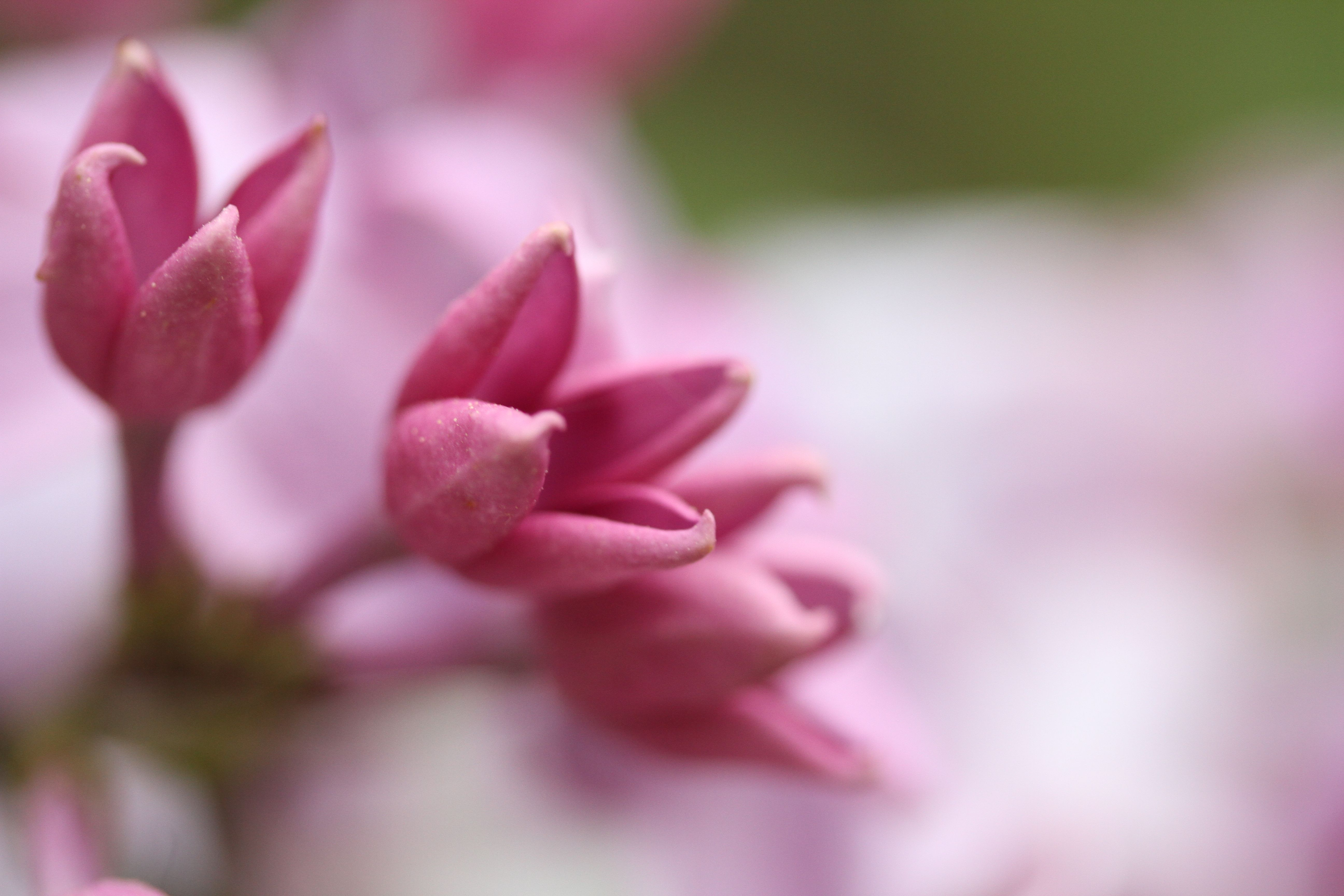 Yes, this is a pink lilac. Amazing.