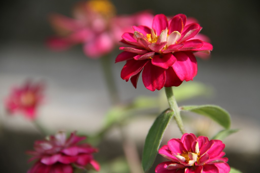 And I finally planted some zinnias in my outdoor pots by the front door.