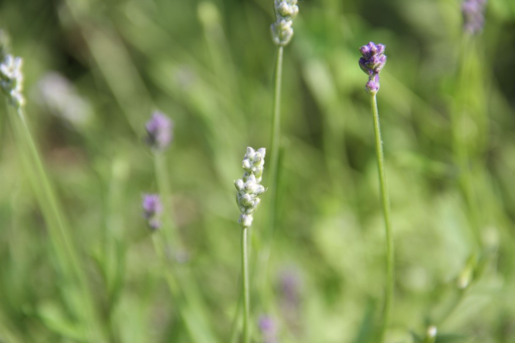 And the lavender is in bloom (which made for some delightful weeding, I might add).