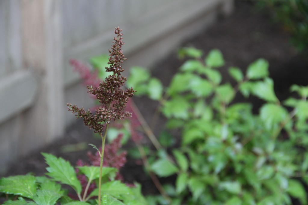 Beauty shot: astilbe.