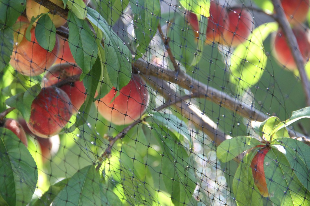 Beauty shot: Mr K's peaches, lovingly wrapped in netting to keep the pests away.