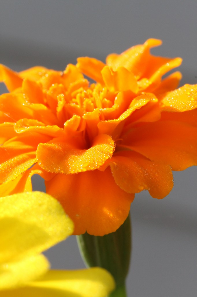 Beauty shot: orange marigold.