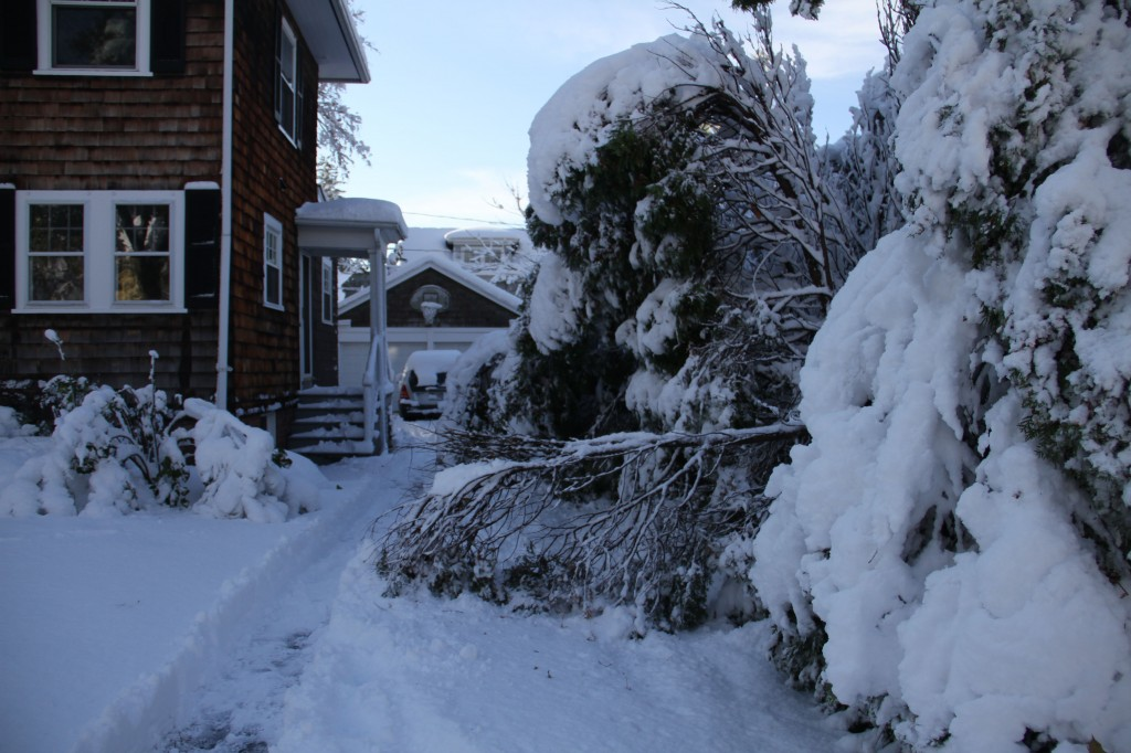 The lovely arborvitae that provide a fence between us and our neighbors were hit hard.