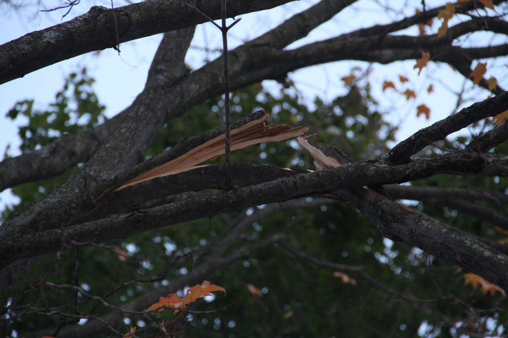 One of the limbs on our giant maple is hanging on by a thread.