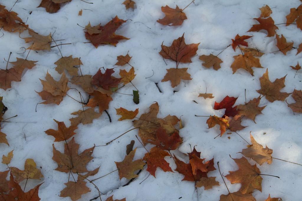 Beauty shot: freshly fallen leaves on freshly fallen snow.