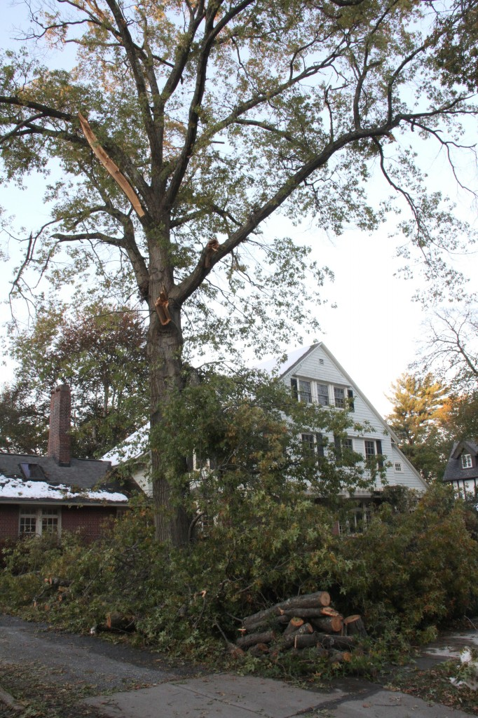 I don't know what sort of tree this is, but these guys suffered the most in our area (or so it would seem). They seem to be some of the oldest (tallest) trees, and virtually every one I saw was missing several large limbs.