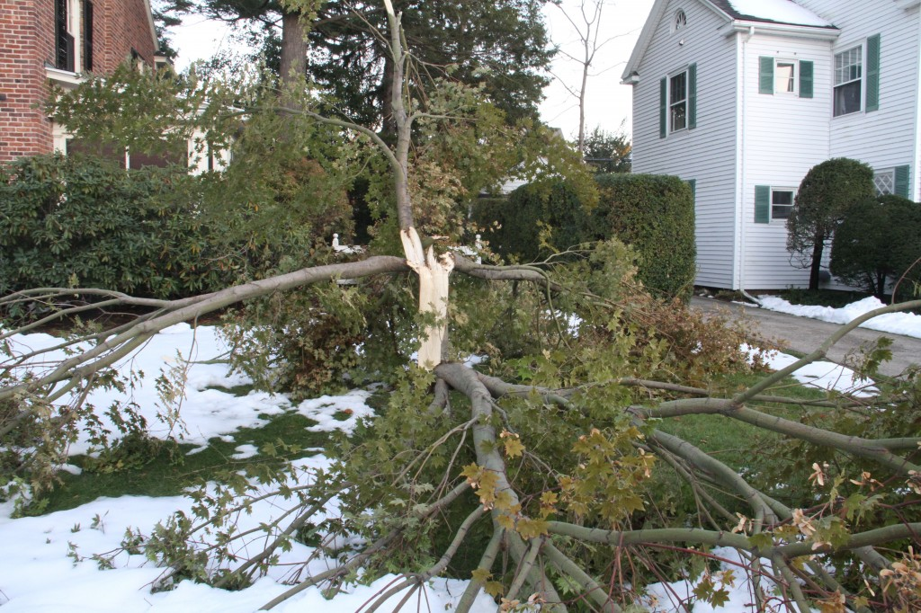 The smaller, ornamental type trees also suffered. This one looks like lightening struck it and burst it open. And though we did have thunder-snow (complete with actual lightening) this was caused by snow alone.