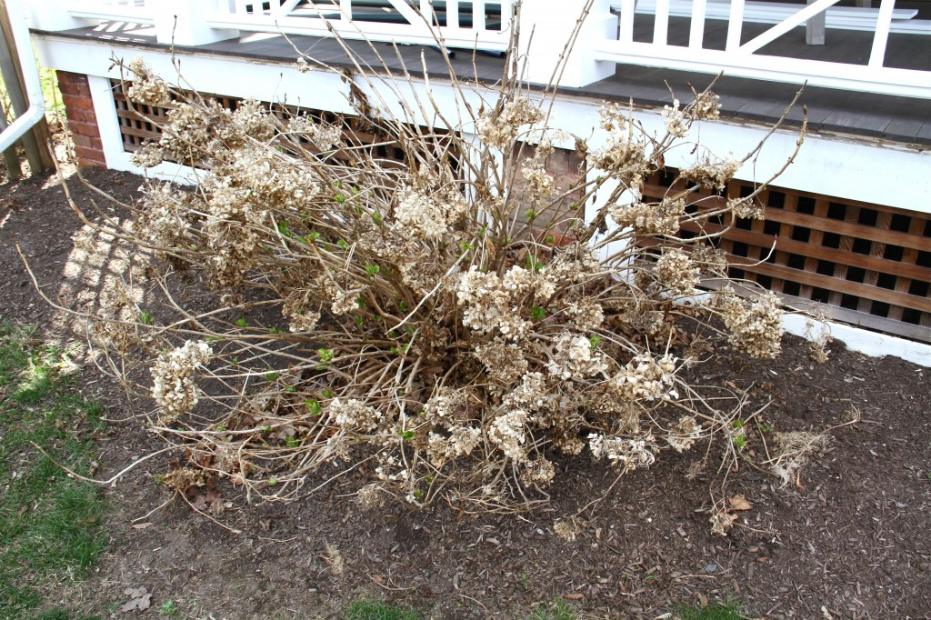 This is what the hydrangeas look like after a few months of winter (and a few weeks of spring). This one is a wedding hydrangea, and you can see the green leaves beginning to emerge from the tangled mess of last fall's leaves, dried blooms and broken stems.