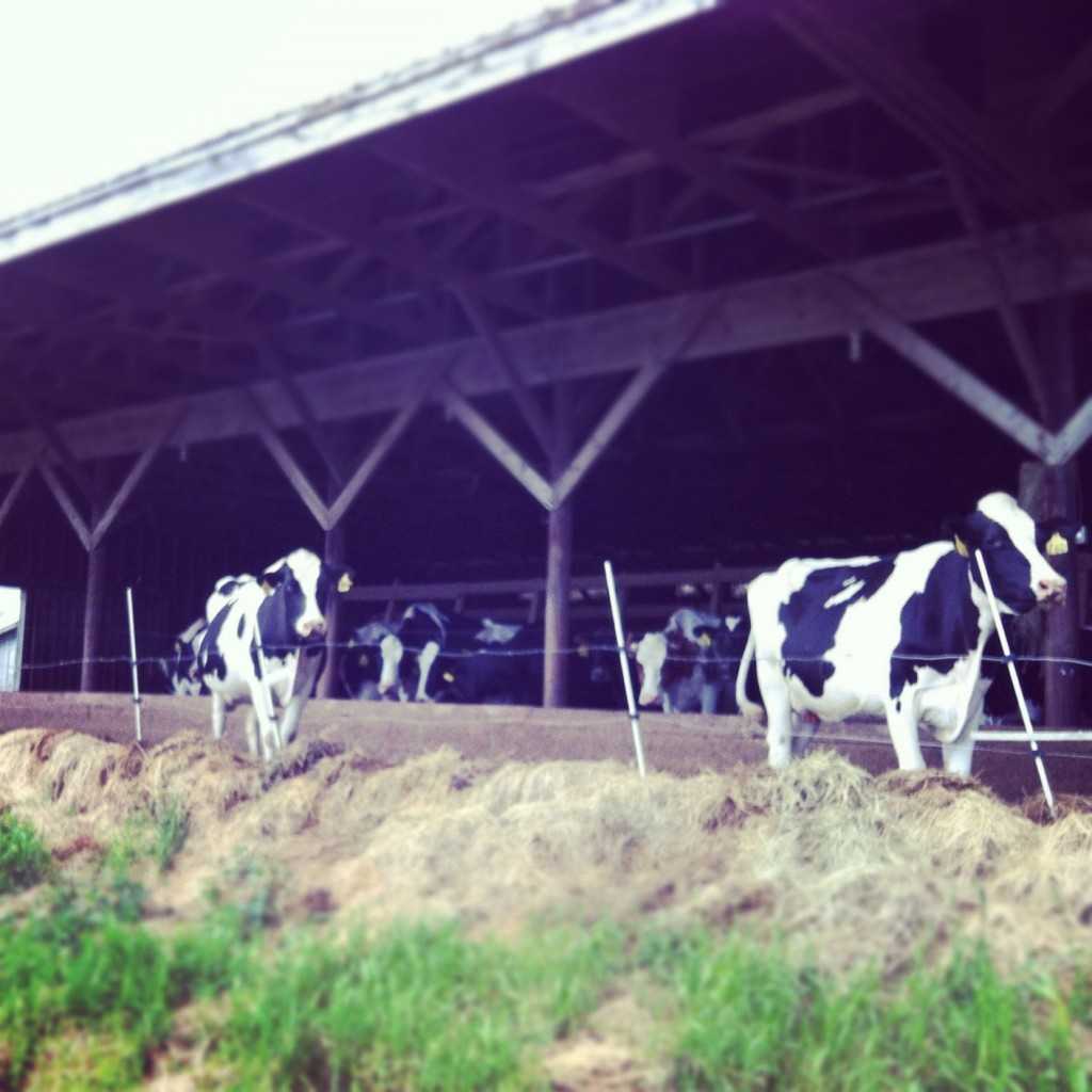 A visit to VT to see the cows. And my dear friend, Abbie. No, she's not a cow.